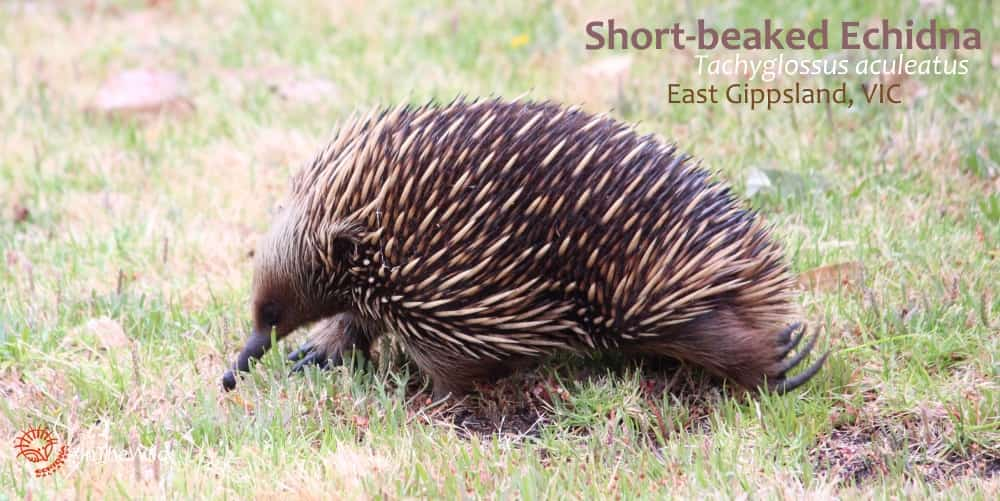 Short-beaked Echidna walking