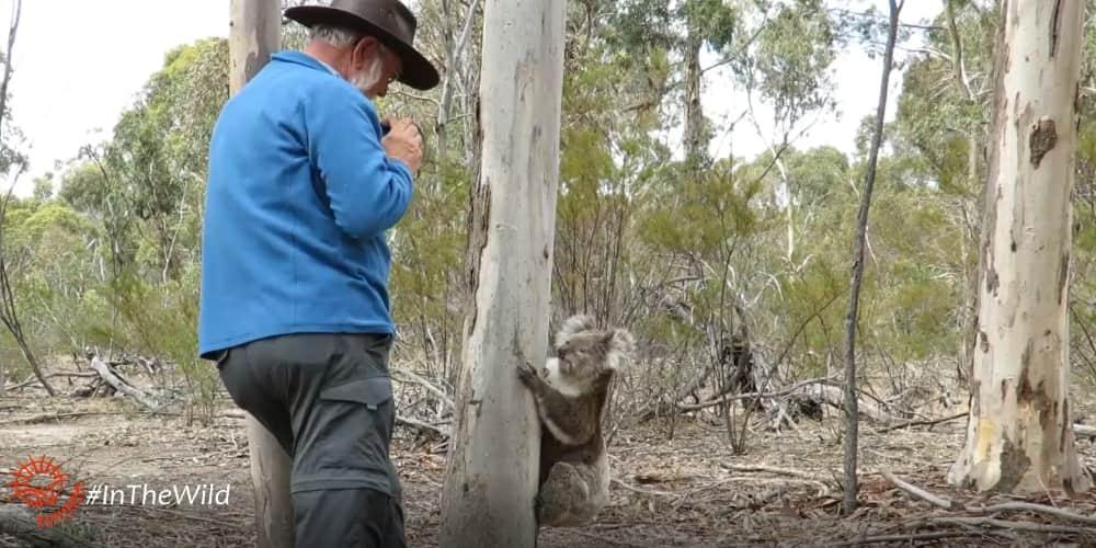 wild koala walks to tourist
