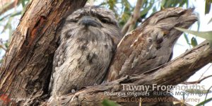 learning from nature: Tawny Frogmouths