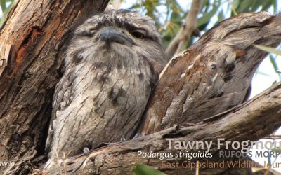 Learning from Nature: Tawny Frogmouth Brood Patches
