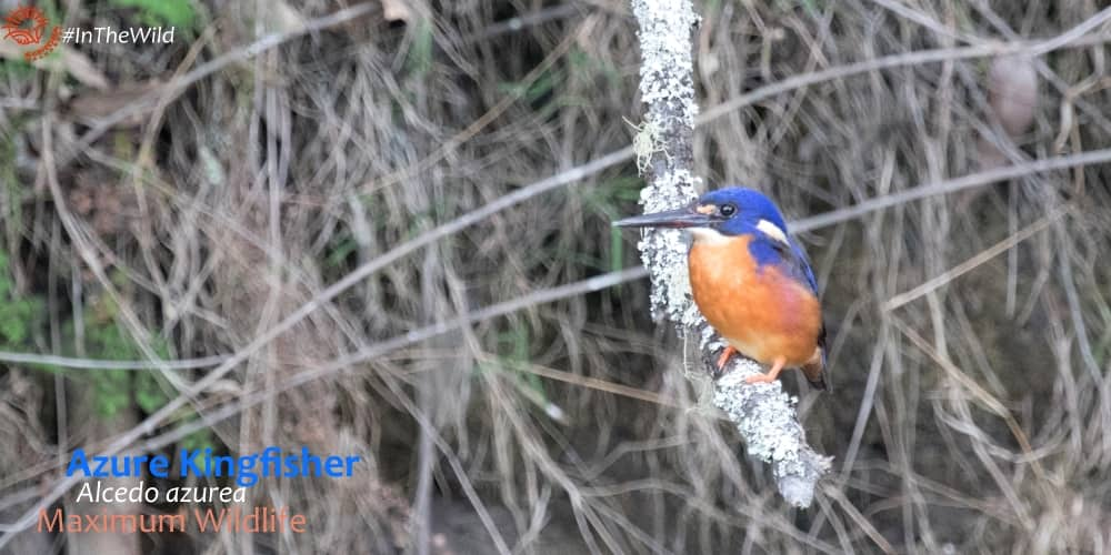 azure kingfishers prefer rivers where healthy native vegetation thrives