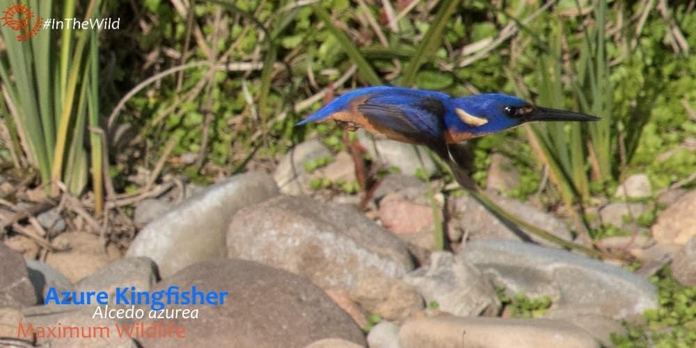 Blue flash - azure kingfisher flying