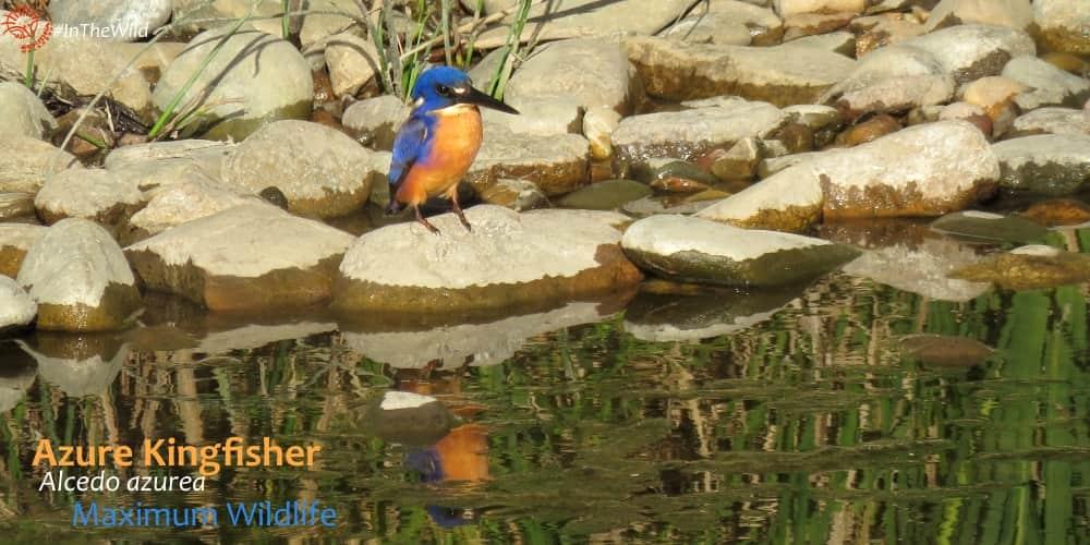 azure kingfisher alcedo azurea east gippsland
