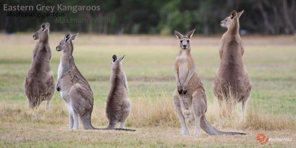 mob of kangaroos in Australia