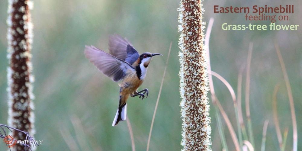 honeyeater bird flying at grass tree flower