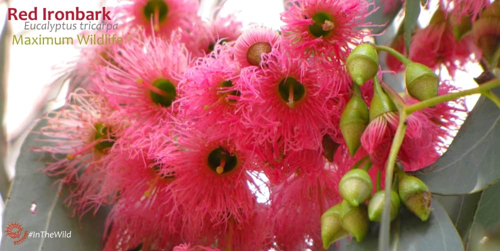 pink wildflowers southern australia