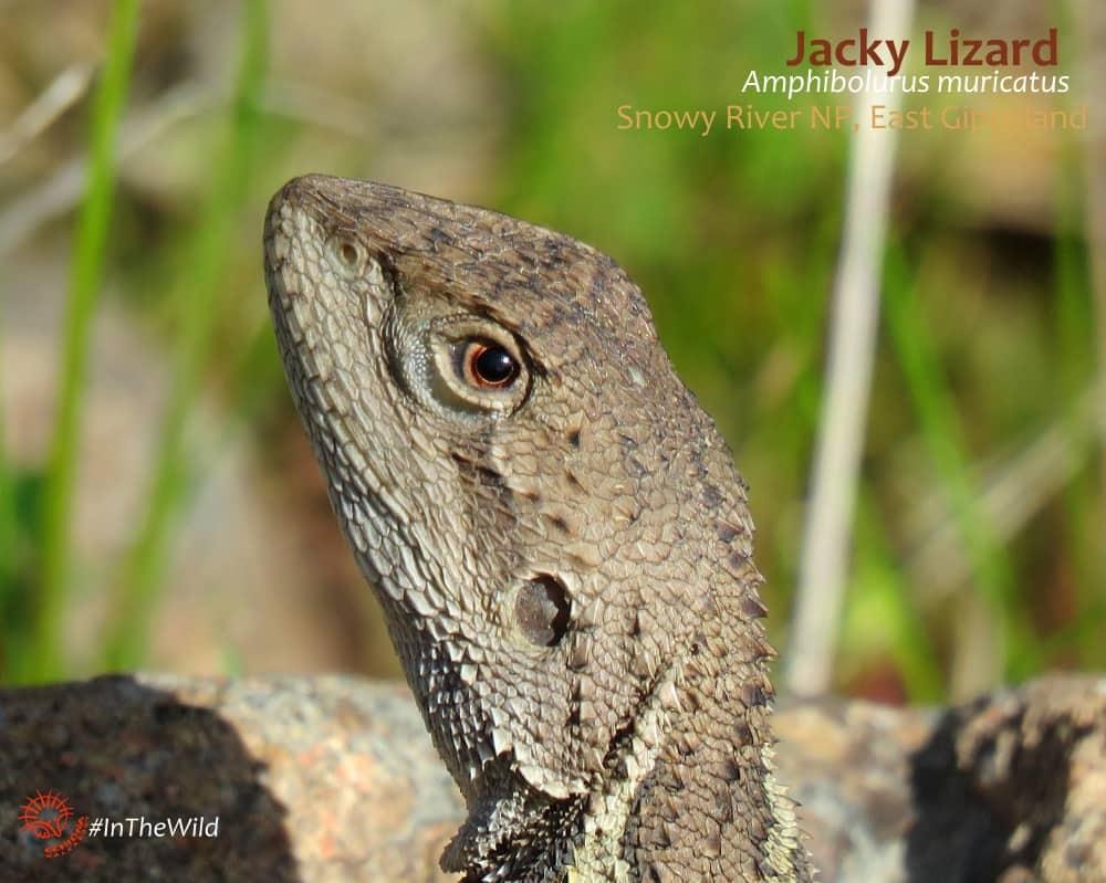 JACKY-lizard-head-detail-east-gippsland-110917bhp02wmlowtext-min
