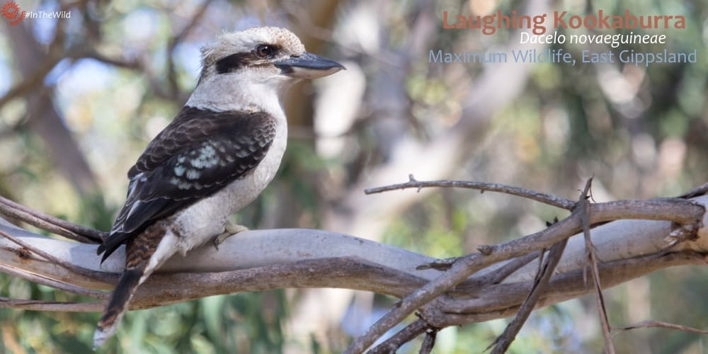 Laughing Kookaburra biggest most famous kookaburra