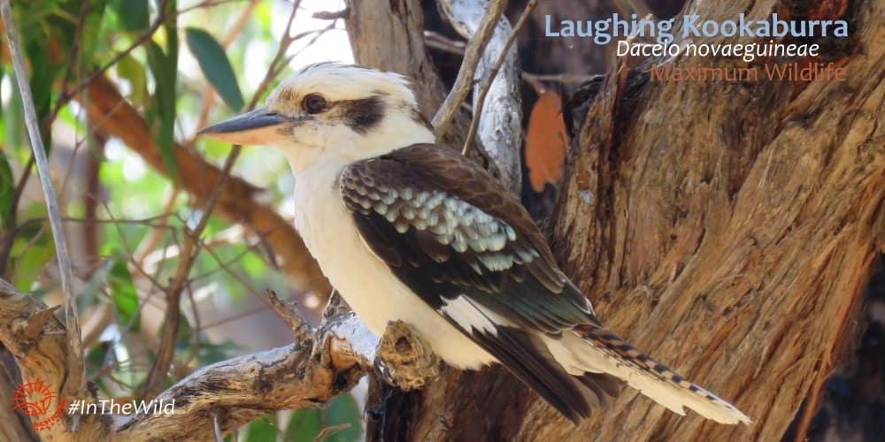 Laughing Kookaburra Dacelo novaeguineae Australia