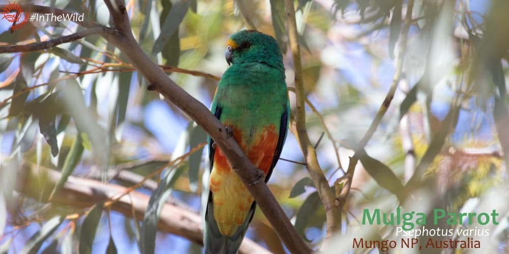 Mulga Parrot - one of wildlife guide's favourites