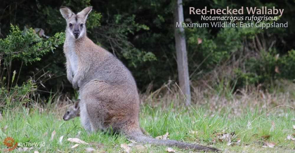 Red-necked Wallaby grassy plains East Gippsland