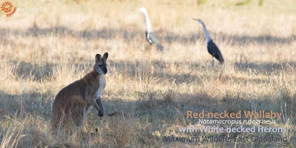 male wallaby with birds