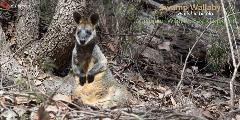Cute wallaby basking in sun Australia