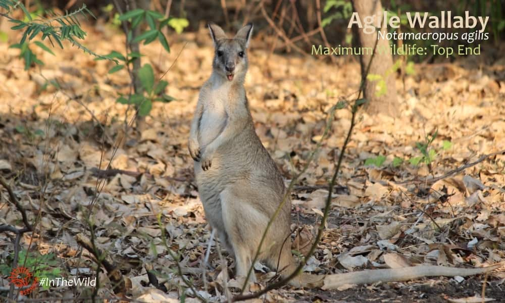 cute wallaby mouth open