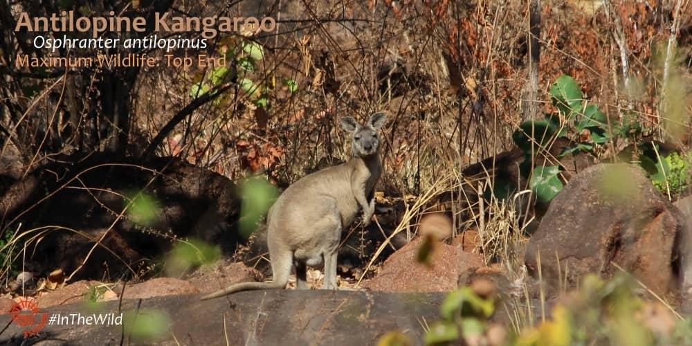 Antilopine Wallaroo Echidna Walkabout