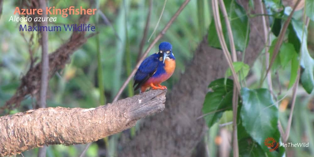 azure kingfishers are tiny