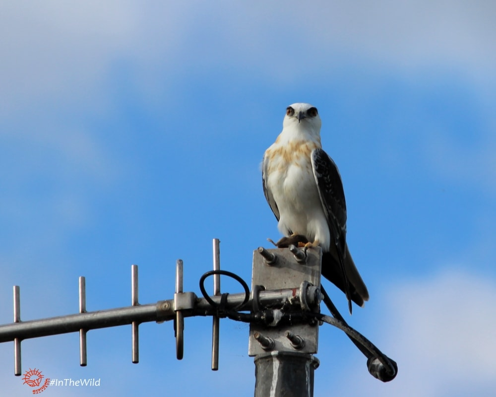 black-shouldered-kite-wtp-060717p05wmlowres-min
