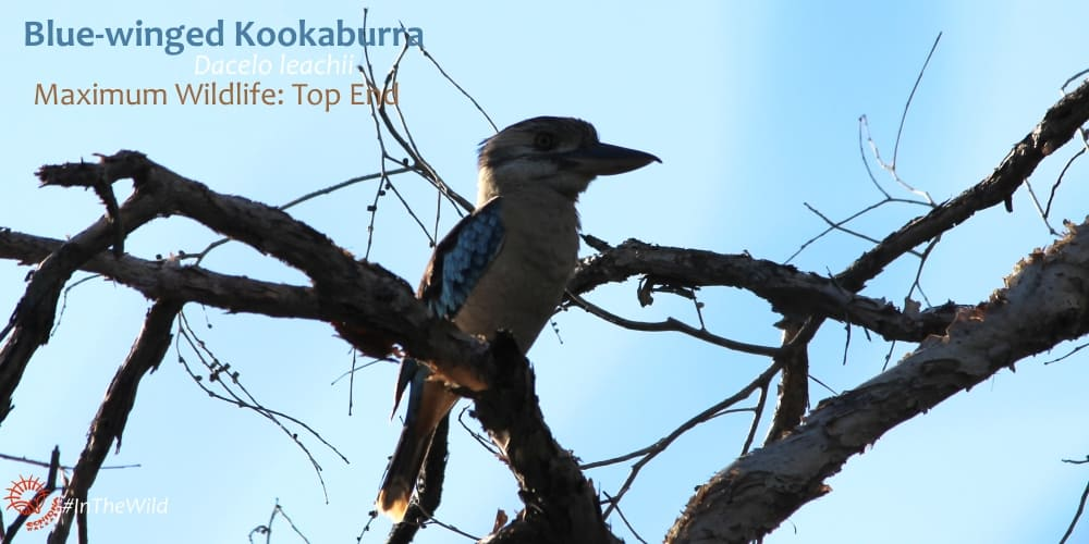 Laughing Kookaburra or Blue-winged Kookaburra - both species have blue on wings