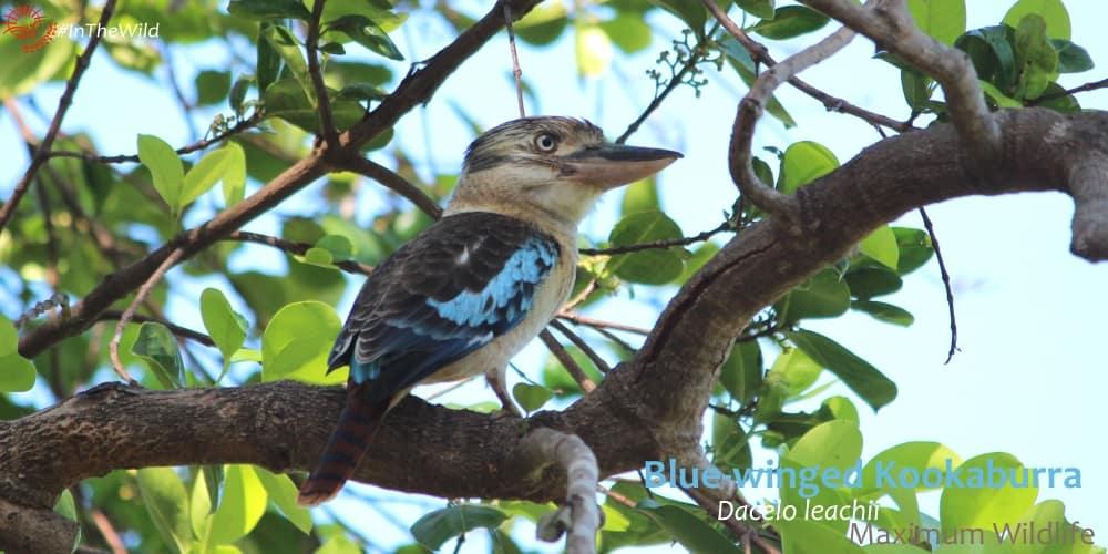 Blue-winged Kookaburra Dacelo leachii side view