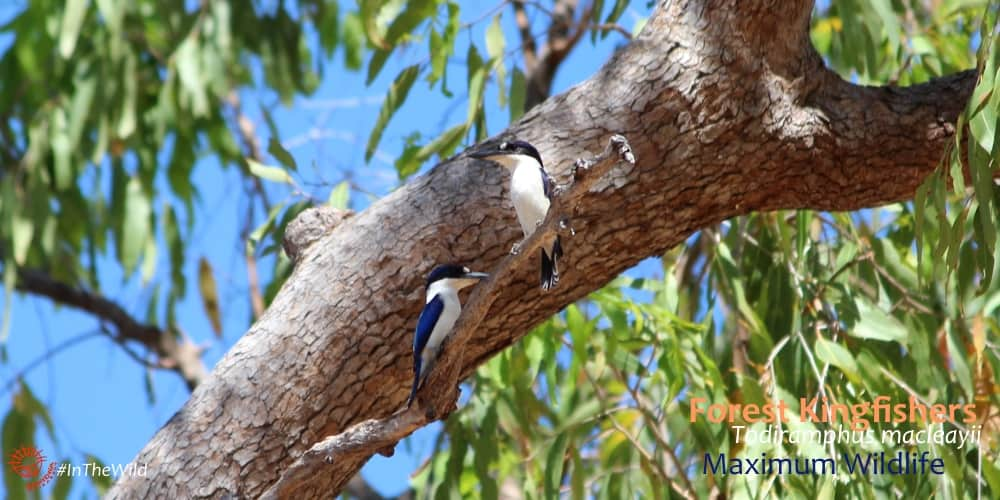 Forest Kingfisher Todiramphus macleayii Tree Kingfishers