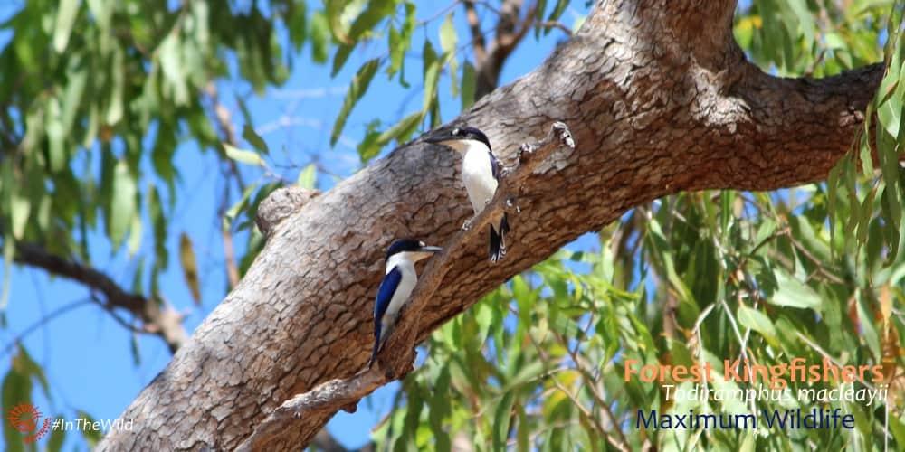 Forest Kingfisher Todiramphus macleayii Tree Kingfishers