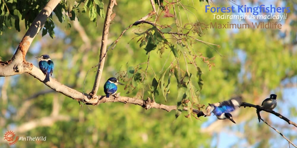 four forest kingfishers on branch Maximum Wildlife tour in Top End