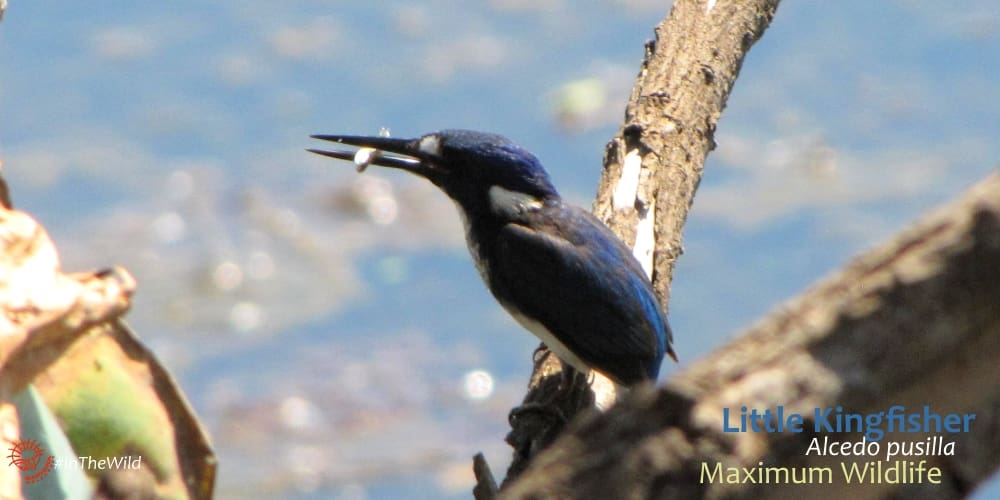 Little Kingfisher at Crocodile viewing platform Shady Camp