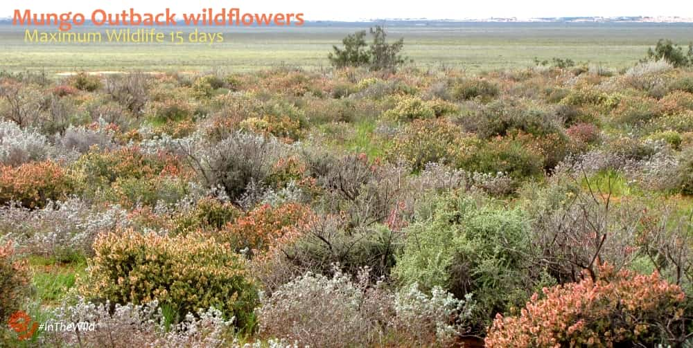 wildflowers of the outback after rain