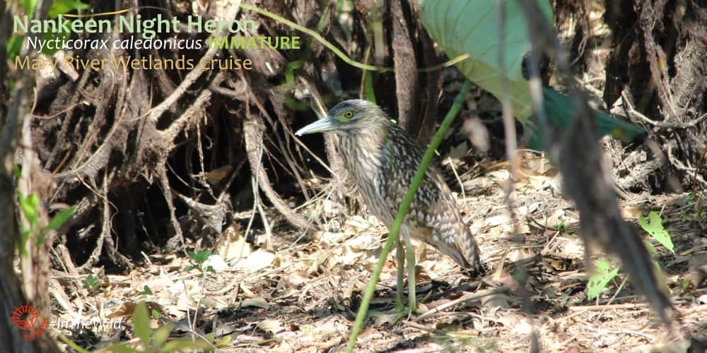 immature Nankeen night heron hiding on riverbank