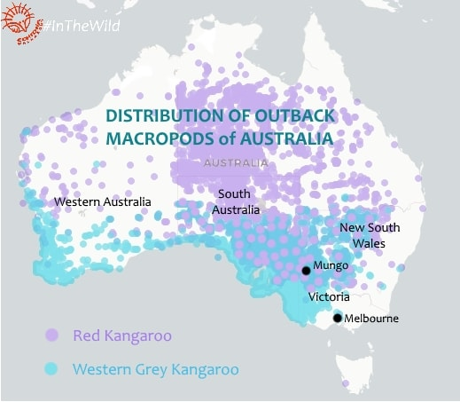 Distribution of macropods map: Red Western Grey Kangaroo