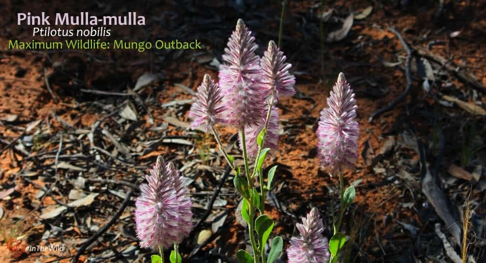 pink wildflower mungo outback