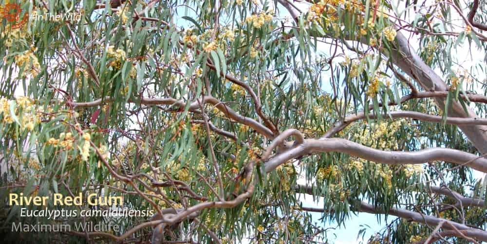 flowering eucalyptus gum tree