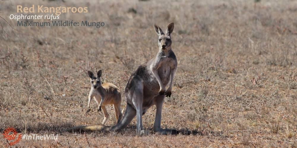 Red Kangaroo with joey Outback Australia