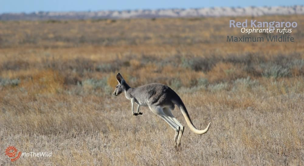 Female Red Kangaroos are usually blue-grey