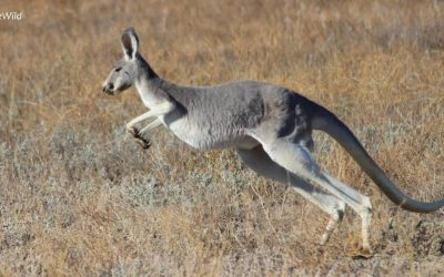 Macropods (Kangaroos) of Australia