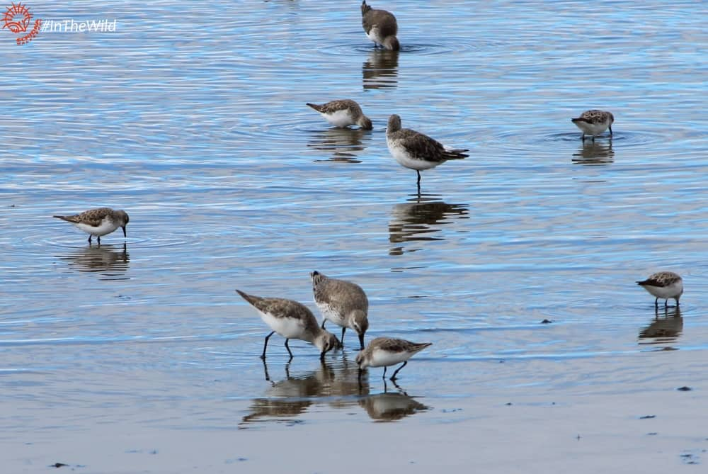 red-knot-curlew-sandpiper-red-necked-stint-wtp-231017p07wmlowres2-min