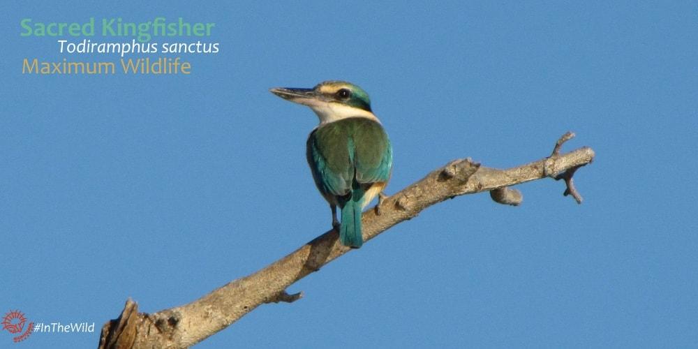 where to see Sacred Kingfisher