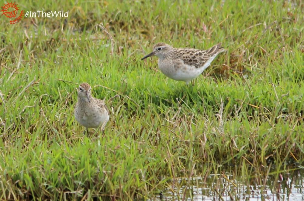 sharp-tailed-sandpiper-wtp-231017p02wmlowres2-min