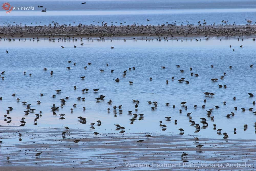 shorebirds-wtp-231017p02wmlowrestext-min
