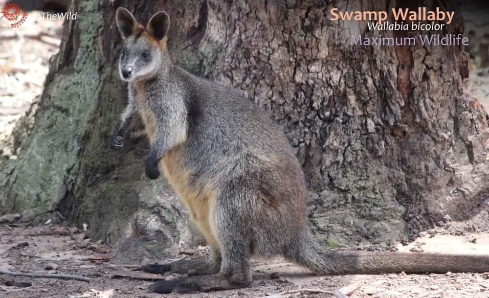 Black wallaby south-eastern Australia