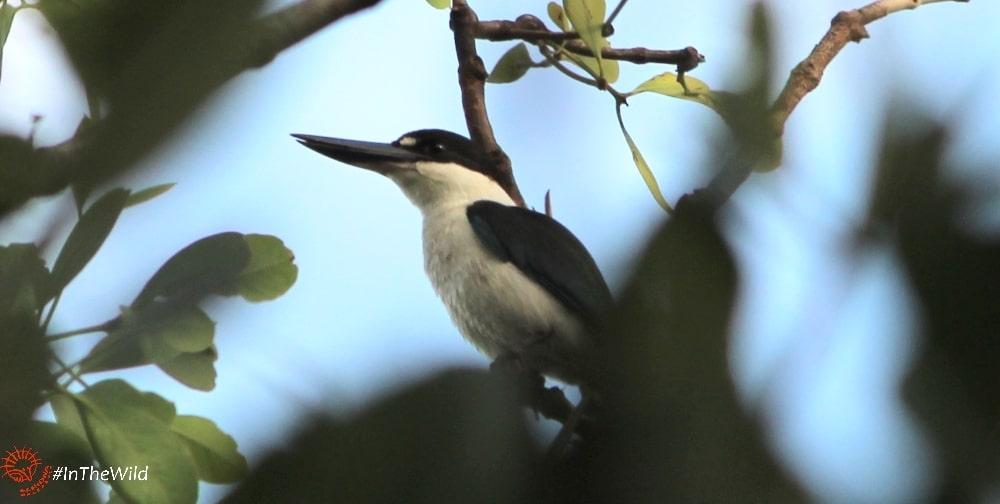 Torresian Collared Kingfisher Australia