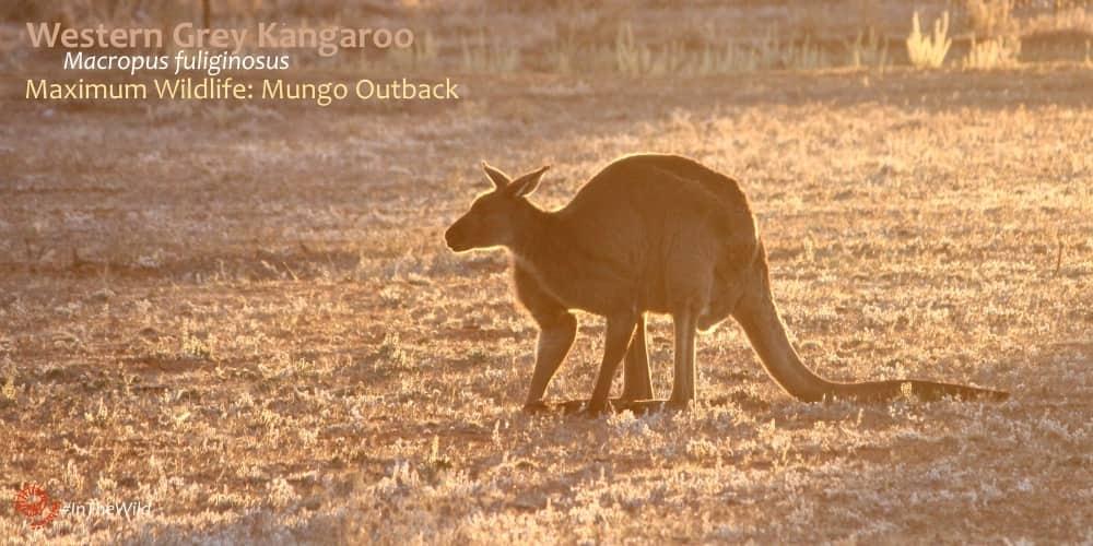 big male kangaroo at sunset