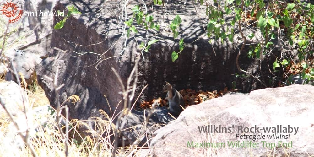 Rock wallaby in rocky habitat kakadu