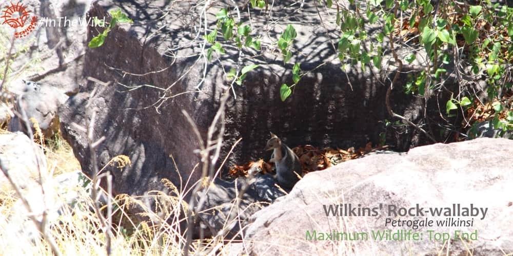 Rock wallaby in rocky habitat kakadu