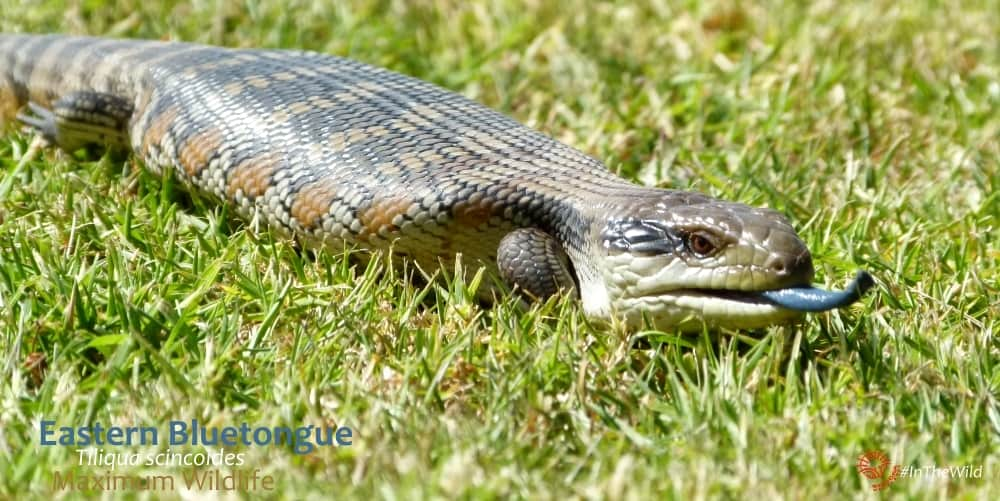 bluetongue skink with tongue out eastern Australia