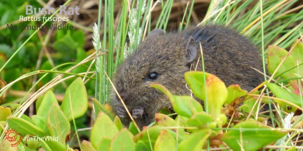 Great Ocean Road native Bush Rat
