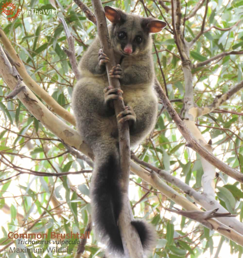 where to watch possums