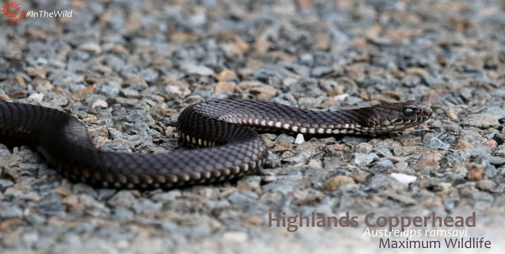 where to watch Highlands Copperhead snakes