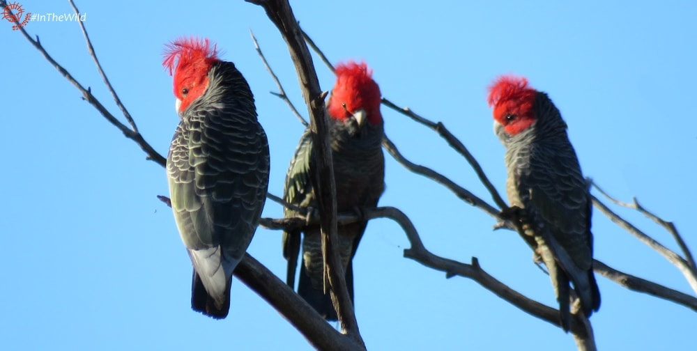3 male Gang Gang Cockatoos near Great Ocean Road