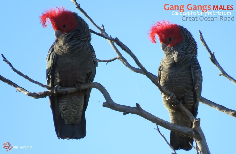 Gang Gangs showing floppy crests Australia
